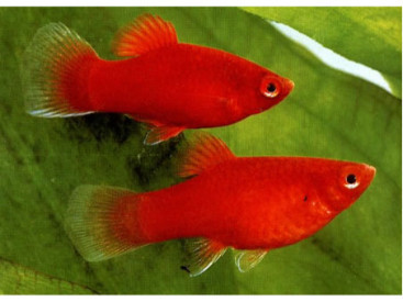 Xiphophorus maculatus Platy Coral Red L