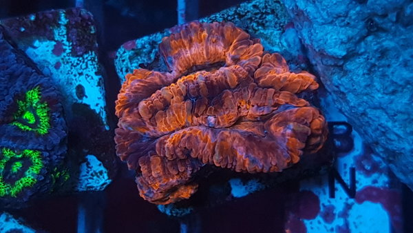Acanthastrea Lordhowensis 3